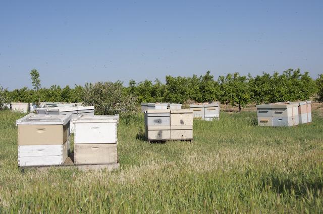 Autre modèle de ruches dans une plantation d'orangers (USA)