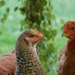 Les poules sont libérées durant la journée