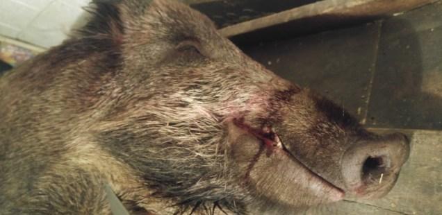 Le sanglier : alternative à l'élevage