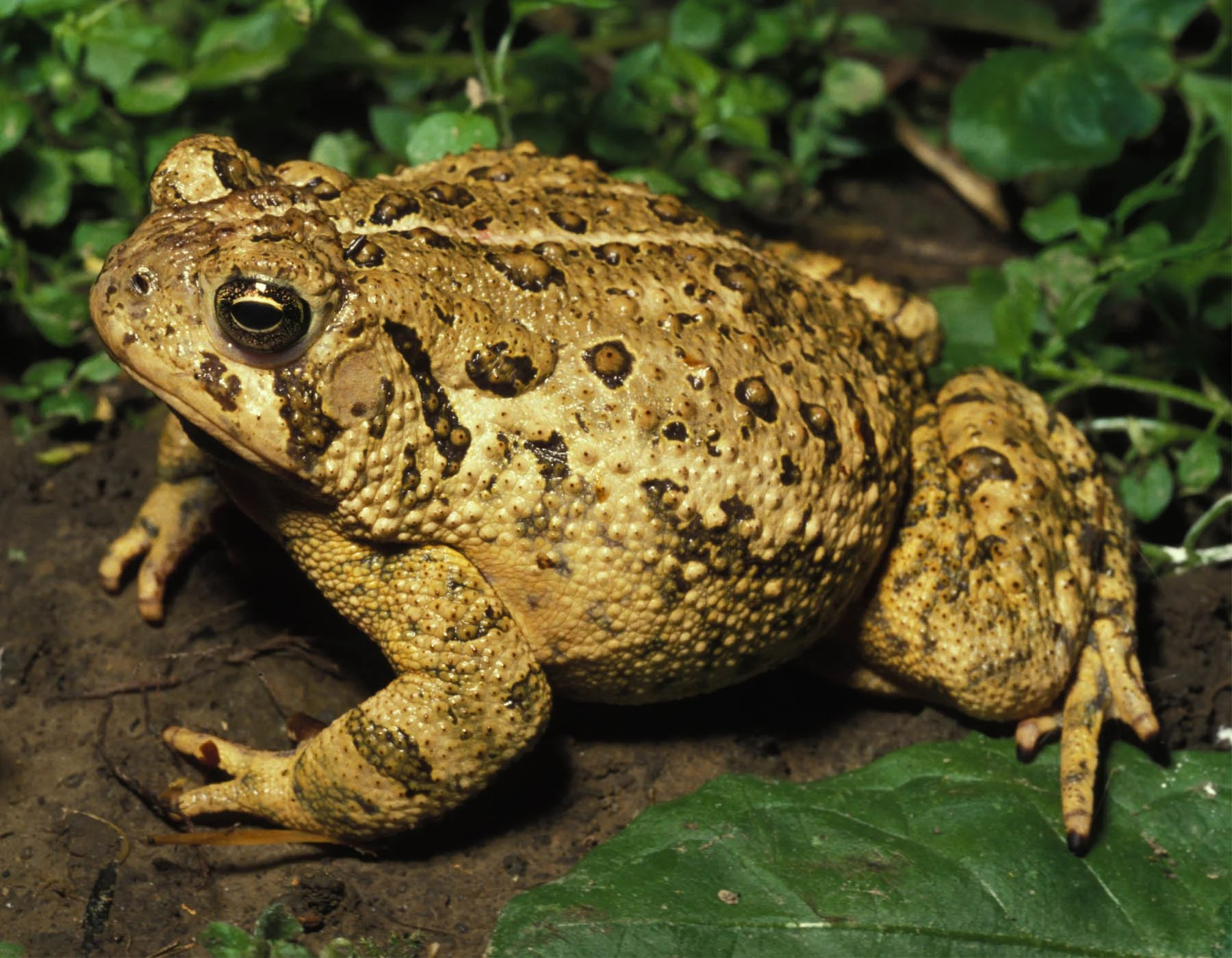 Toad And Frog Facts