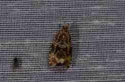 Chasse Aux Papillons - Amuré - 01-06-2012 - Argyroploce lacunana