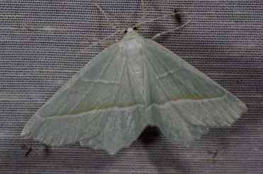 Chasse Aux Papillons - Amuré - 01-06-2012 - Campaea margaritata