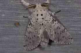 Chasse Aux Papillons - Amuré - 01-06-2012 - Cerura erminea