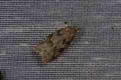 Chasse Aux Papillons - Amuré - 01-06-2012 - Cnephasia cupressivorana