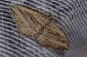 Chasse Aux Papillons - Amuré - 01-06-2012 - Costaconvexa polygrammata-1
