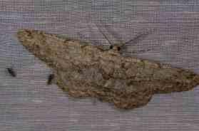 Chasse Aux Papillons - Amuré - 01-06-2012 - Hypomecis punctinalis
