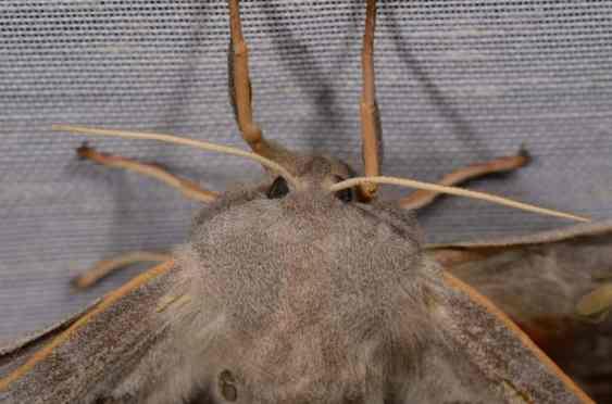 Chasse Aux Papillons - Amuré - 01-06-2012 - Laothoe populi-1