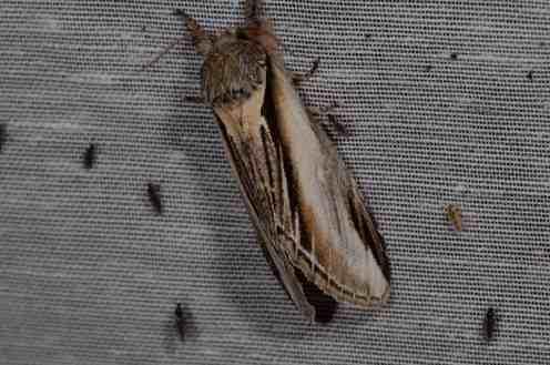 Chasse Aux Papillons - Amuré - 01-06-2012 - Pheosia tremula