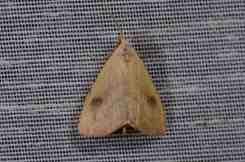 Chasse Aux Papillons - Amuré - 01-06-2012 - Rivula sericealis
