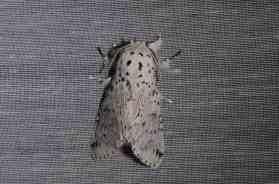 Chasse Aux Papillons - Amuré - 04-05-2014- Cerura Erminea -6