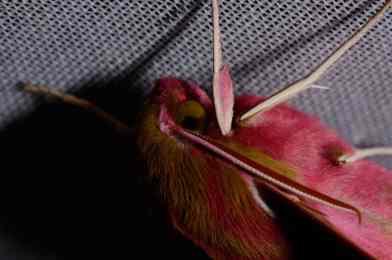 Chasse Aux Papillons - Amuré - 04-05-2014 - Deilephila porcellus-2