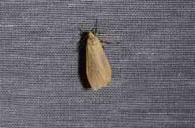 Chasse Aux Papillons - Amuré - 04-05-2014-Wittia sororcula-Eilema sororcula-2