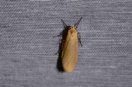Chasse Aux Papillons - Amuré - 04-05-2014-Wittia sororcula-Eilema sororcula