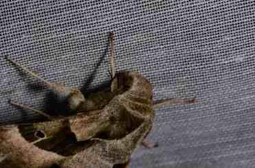 Chasse Aux Papillons - Amuré - 04-05-2014- proserpinus proserpina-2