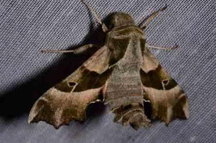Chasse Aux Papillons - Amuré - 04-05-2014- proserpinus proserpina-3