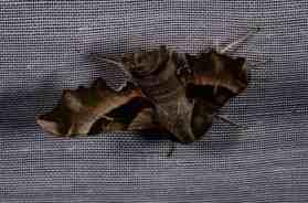 Chasse Aux Papillons - Amuré - 04-05-2014- proserpinus proserpina-6