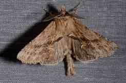 Chasse Aux Papillons - Amuré - 04-05-2014-pterostoma palpina-1
