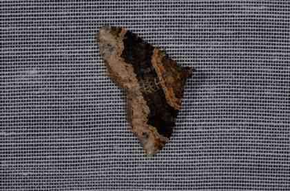 Chasse Aux Papillons - Amuré - 04-05-2014-xanthorhoe ferrugata