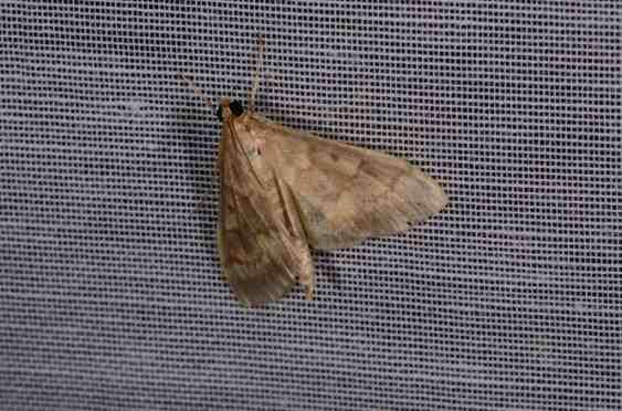 Chasse Aux Papillons - Amuré - 04-09-2014 -Ostrinia nubilalis-1