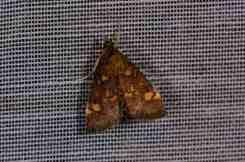 Chasse Aux Papillons - Amuré - 04-09-2014-pyrausta aurata