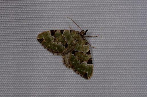 Chasse Aux Papillons - Chizé - 08-09-2012 - Colostygia pectinataria