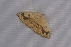 Chasse Aux Papillons - Chizé - 08-09-2012 - Cyclophora annularia