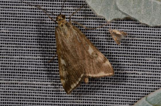 Chasse Aux Papillons - Chizé - 08-09-2012 - Loxostege sticticalis
