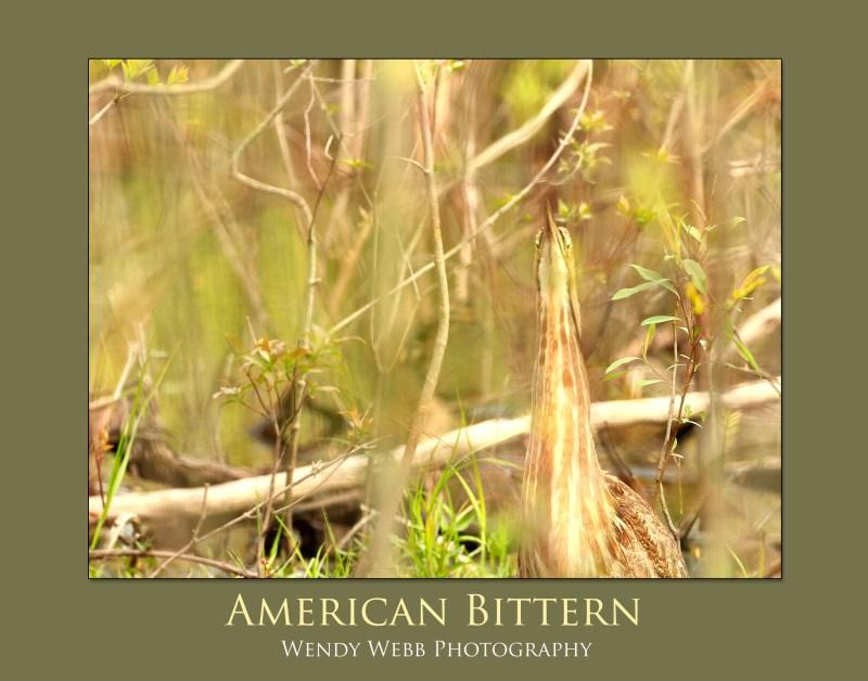 American Bittern 1