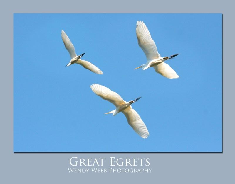 Egrets-great