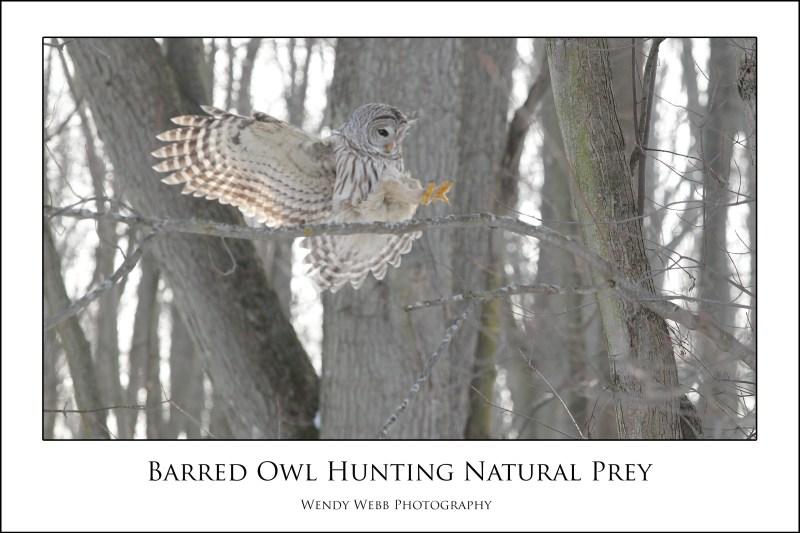 barred owl landing