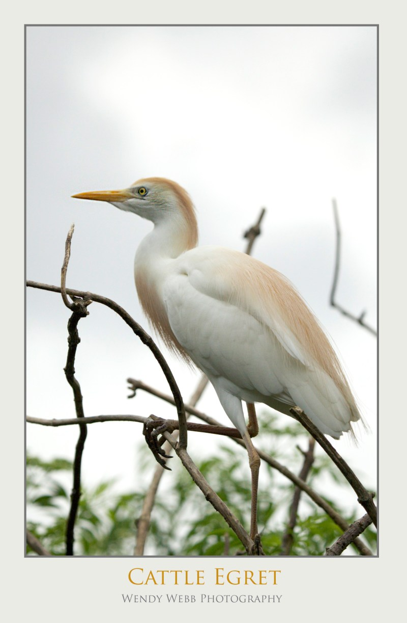 cattle egret on a branch