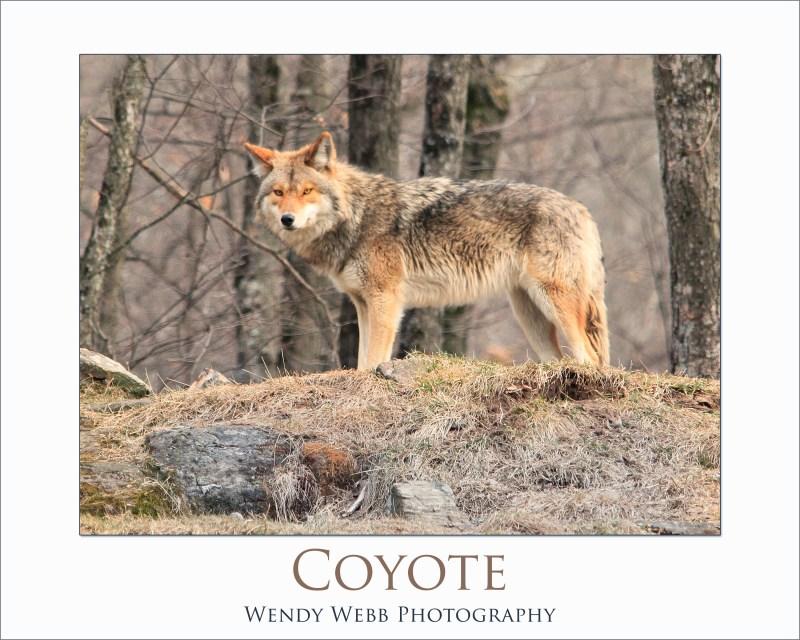 coyoteb