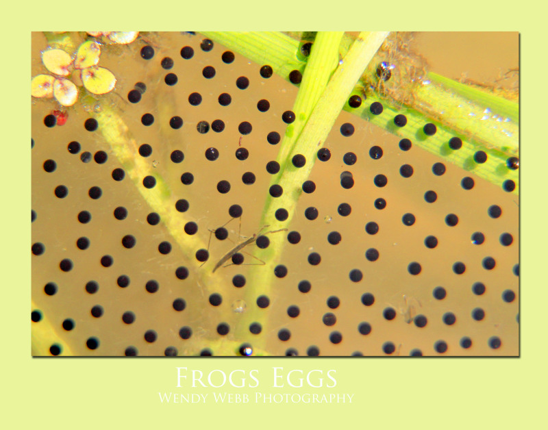 frogs-eggs