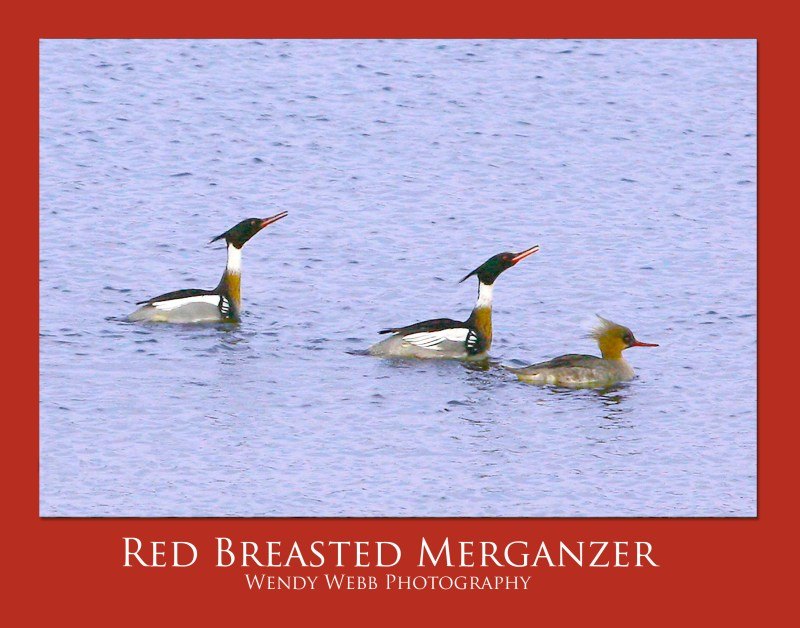 red breasted merganzer