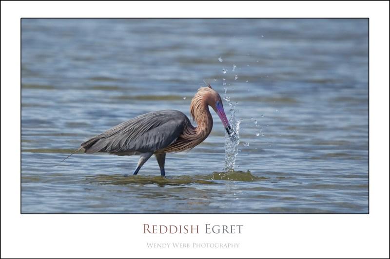 reddish egret b