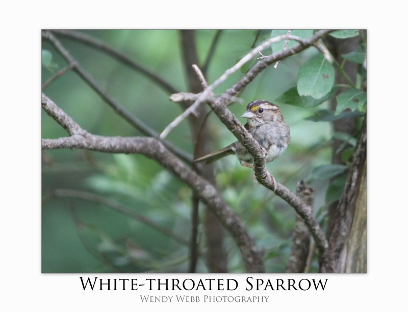 sparrow white throated