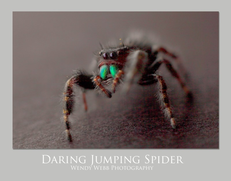 spider-daring-jumping
