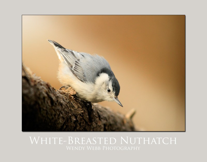 white breasted nut hatch
