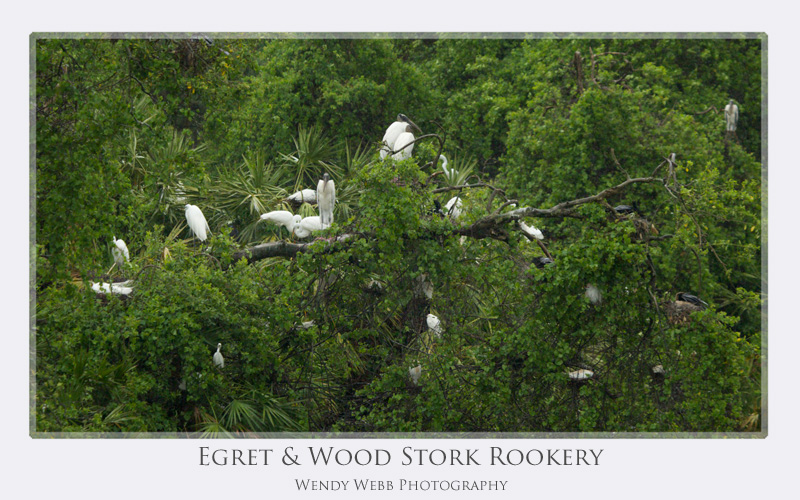 egret and woodstork rookery