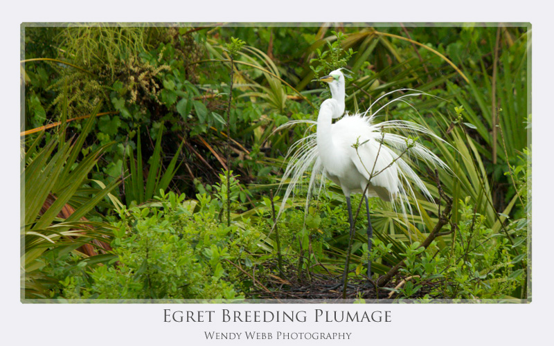 egret breeding plmage
