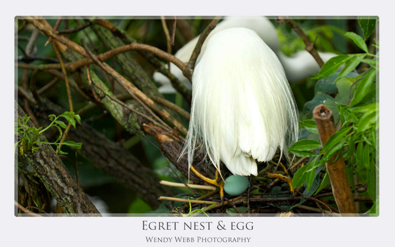 egret egg