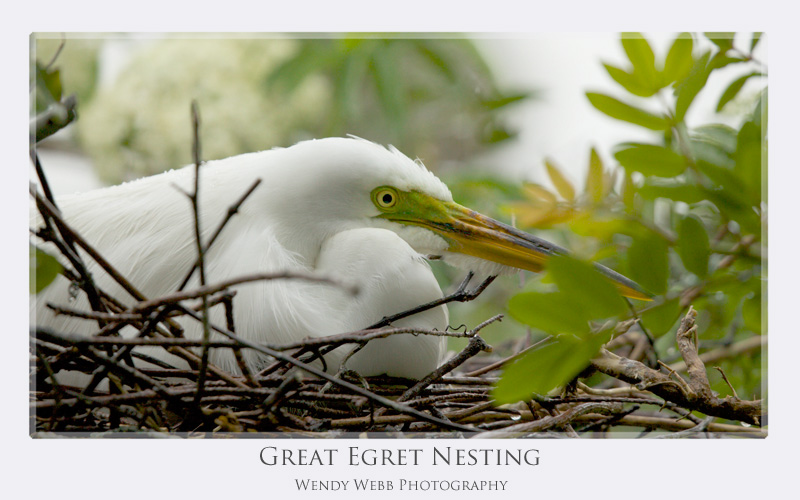 great egret nesting