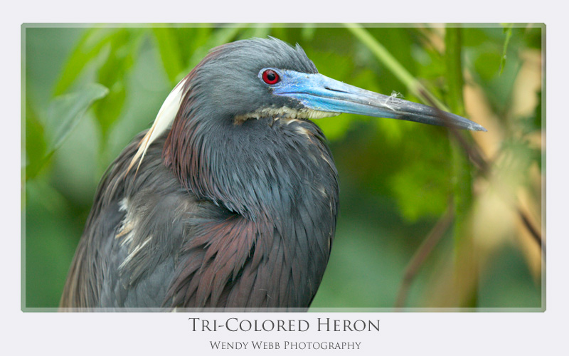 tri colured heron 3