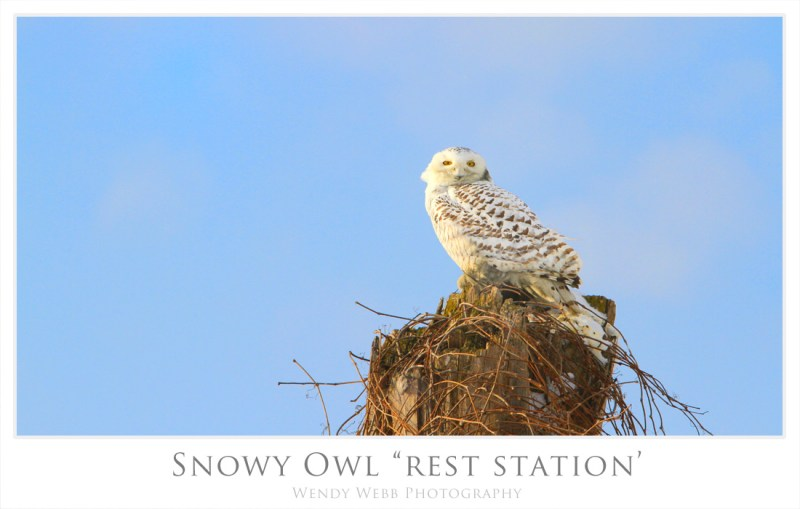 snowy owl rest station