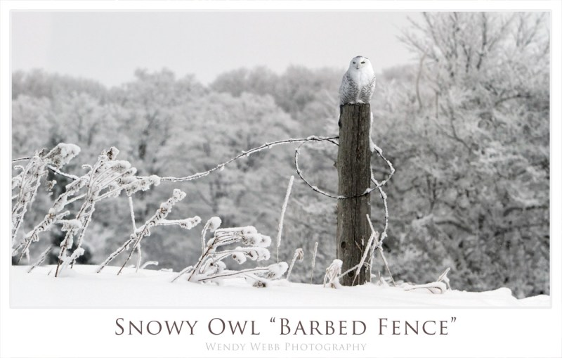 Snowy Owl - barbed fence