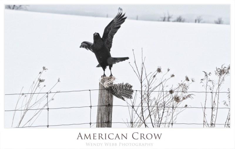 american crow b