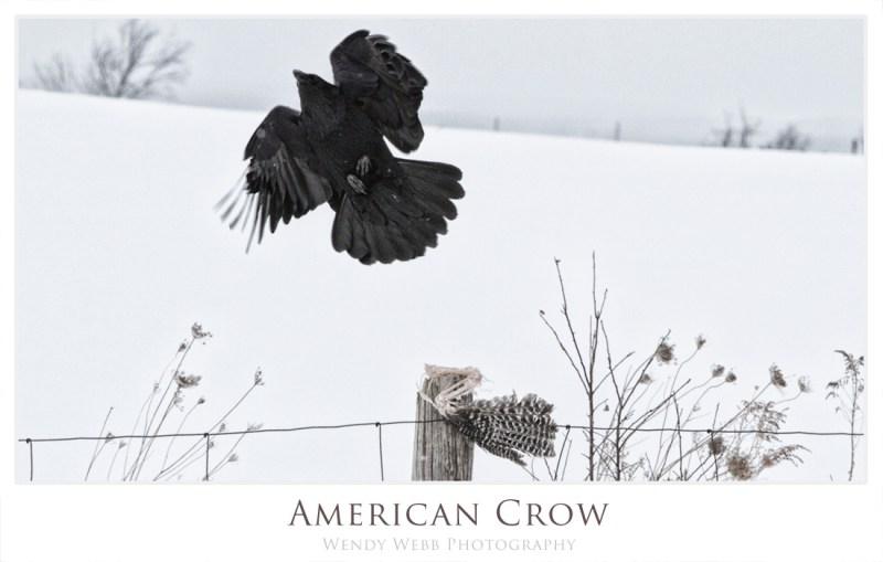 american crow c