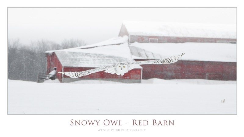 snowy owl red barn