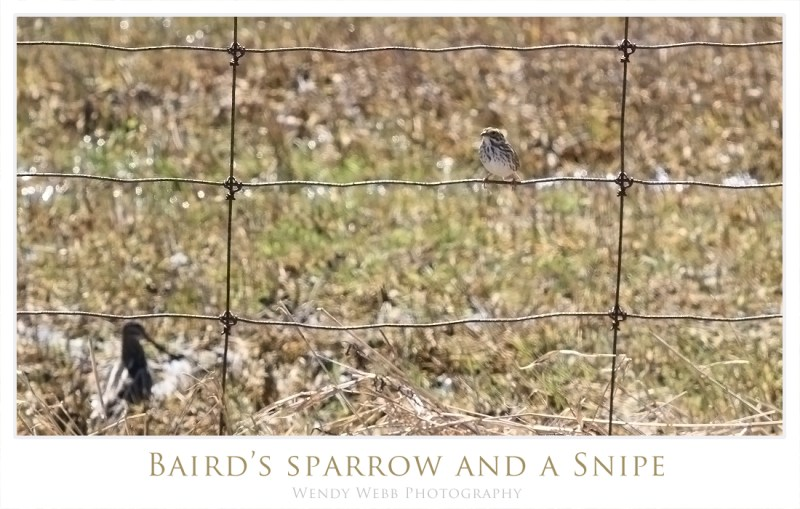 bairds sparrow and a snipe