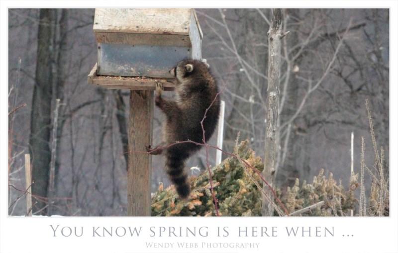 racoon on feeder